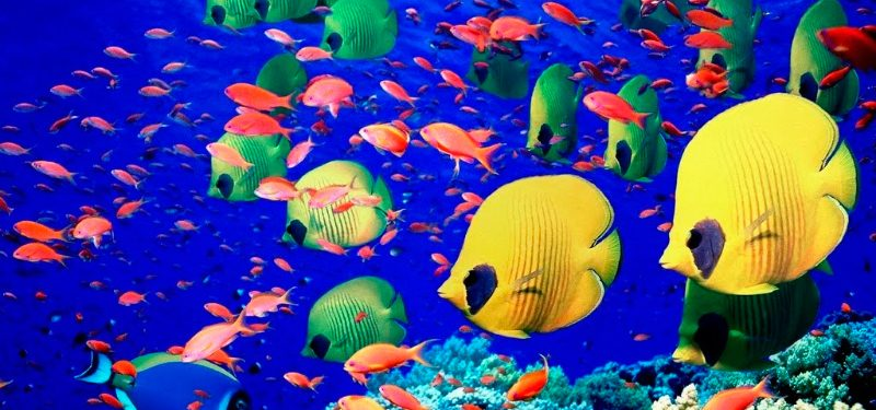 Peces tropicales caracter sticas qu come d nde vive for Peces tropicales