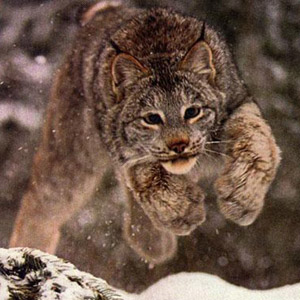 Fotos del Lince Canadiense