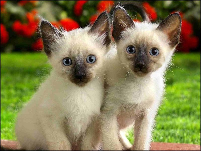 La higiene en los gatos siameses