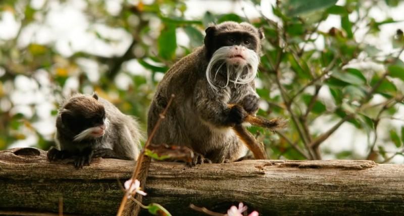 Adaptaciones de los monos tití emperador