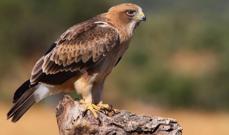 Águilas calzadas