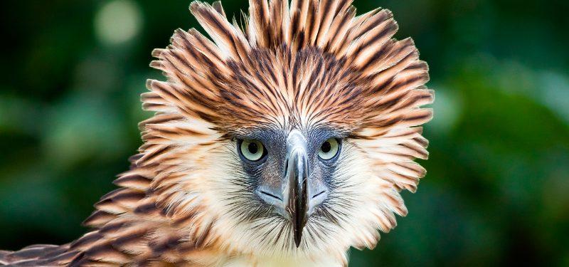 Águila comemonos