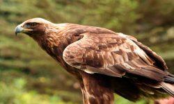 Águila Imperial Oriental