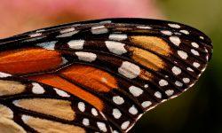 Alas de las mariposas