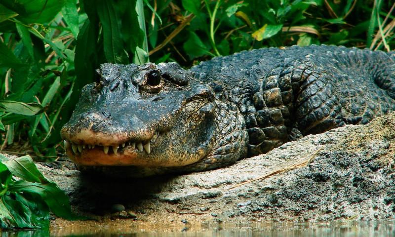 Aligátores chinos
