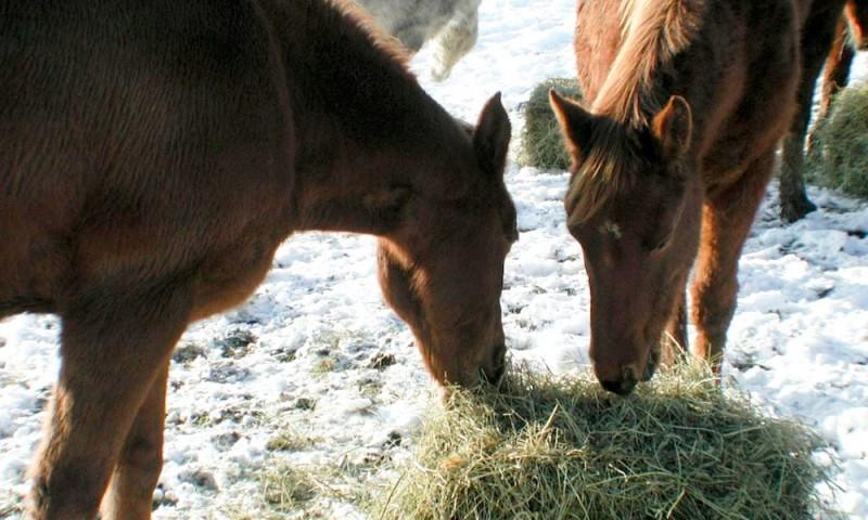 Alimentación de los caballos