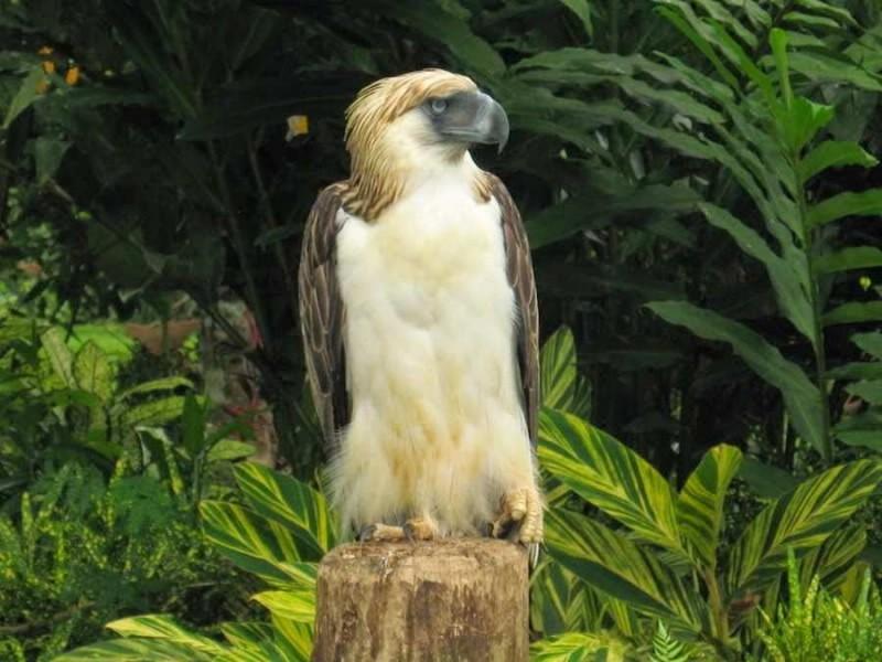 Alimentación de las águilas comemonos