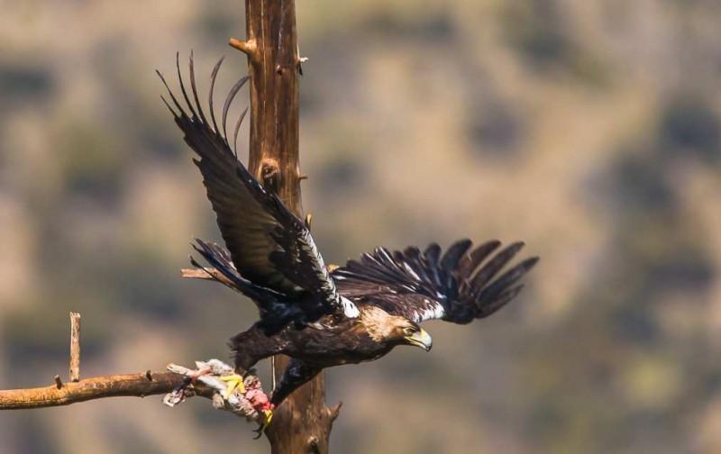 Alimentación de las águilas imperiales ibéricas