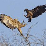 Alimentación de las águilas imperiales orientales