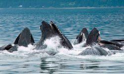 Alimentación de las ballenas