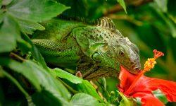 Alimentación de las iguanas