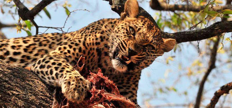 Alimentación de los leopardos