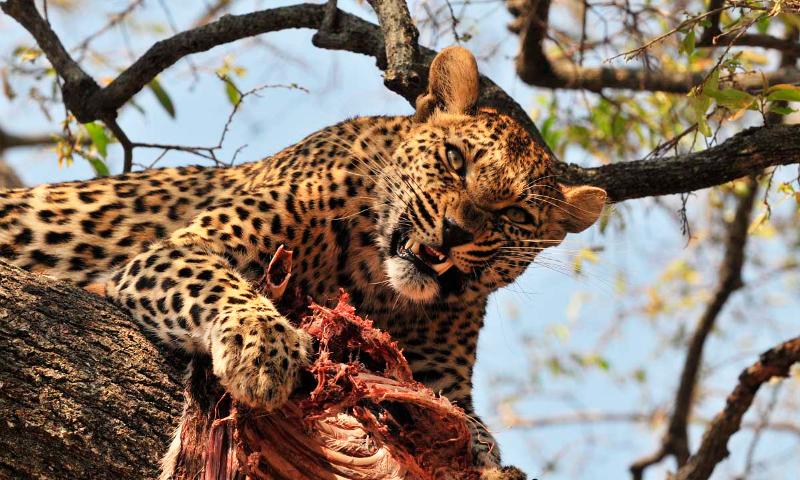191 Qu 233 Comen Los Leopardos Alimentaci 243 N De Los Leopardos Y Las Panteras