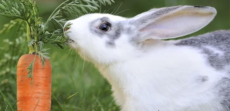 alimento conejos