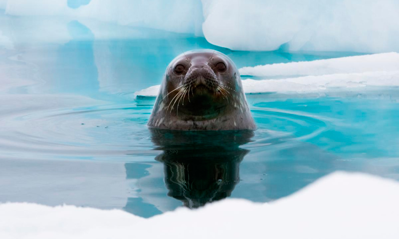 Amenazas de la foca de Weddell