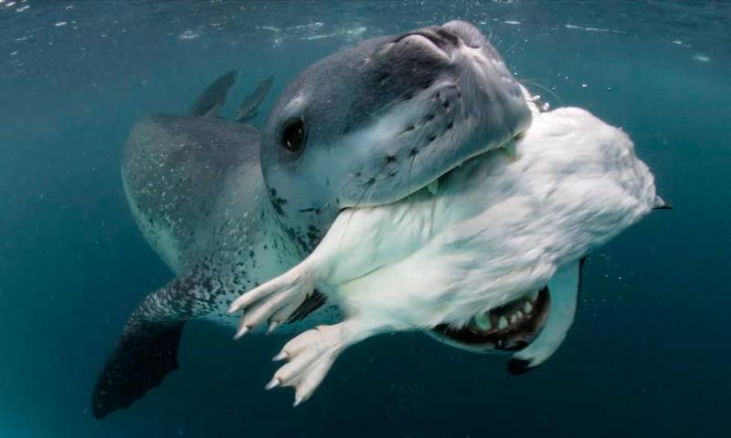 Amenazas de la foca leopardo