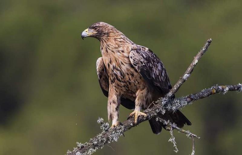 Amenazas del águila imperial ibérica
