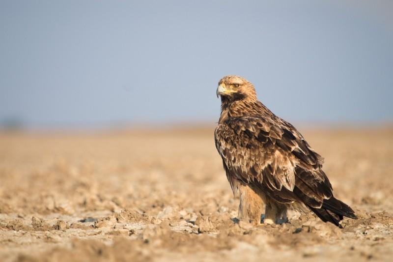 Amenazas del águila imperial oriental