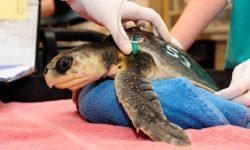 Amenazas tortugas marinas