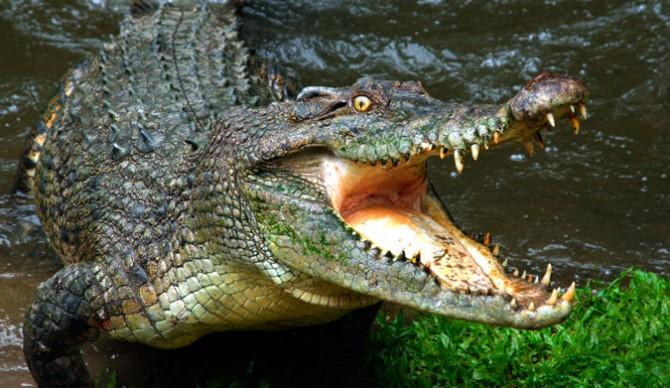 animal-salvaje-el-cocodrilo