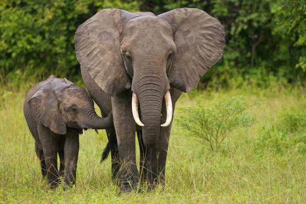animal-salvaje-el-elefante