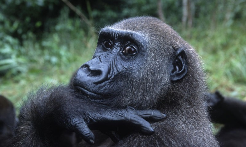 animal-salvaje-el-gorila