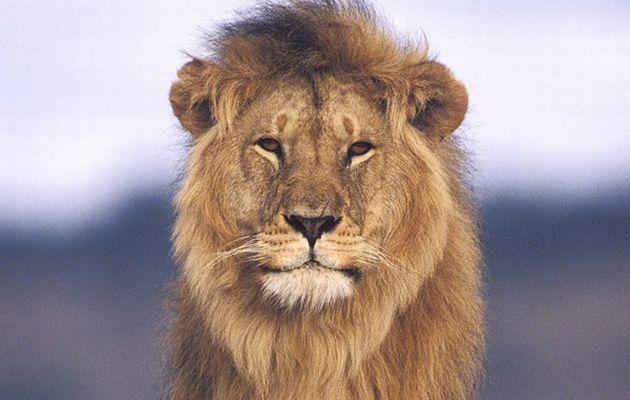 animal-salvaje-el-leon