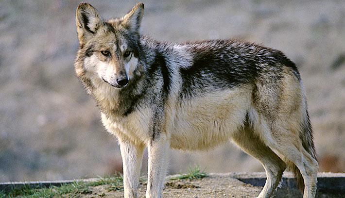 animal-salvaje-el-lobo
