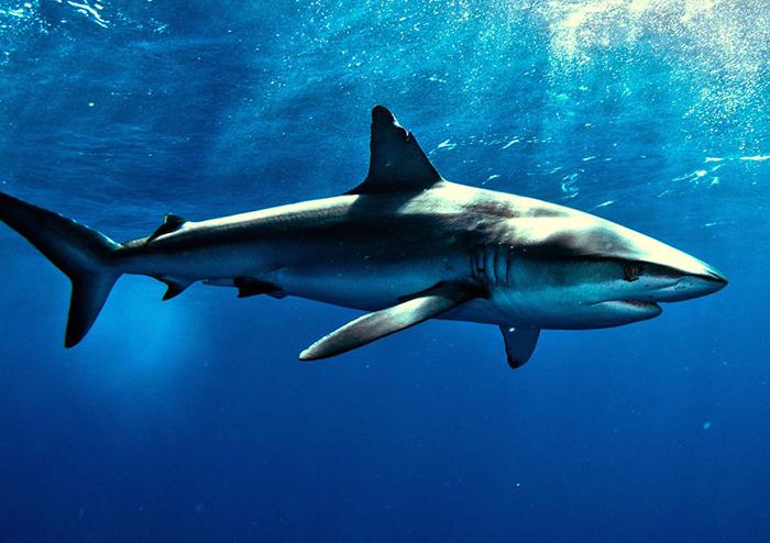 animal-salvaje-el-tiburon