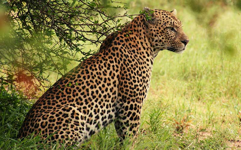 animales-salvajes-leopardo