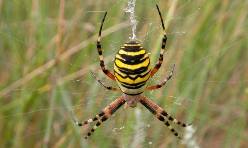Araña avispa