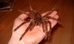 Araña Goliat