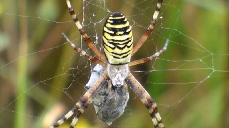 Arañas avispa