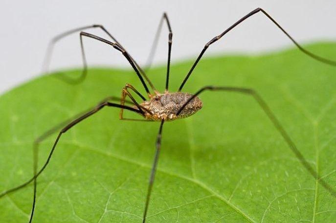 Arañas de patas largas