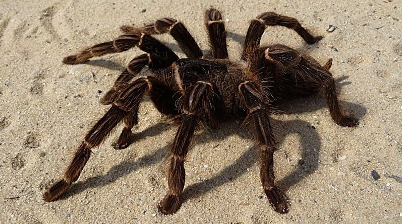 Arañas Goliat