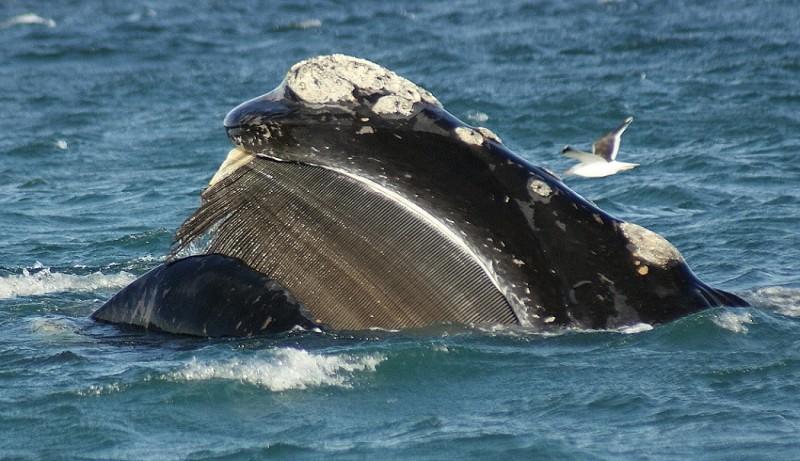 La BALLENA (Información, Peso, Tamaño, Qué comen y tipos de ballenas)