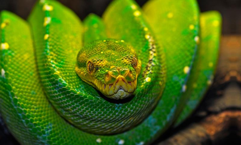 Boa serpiente