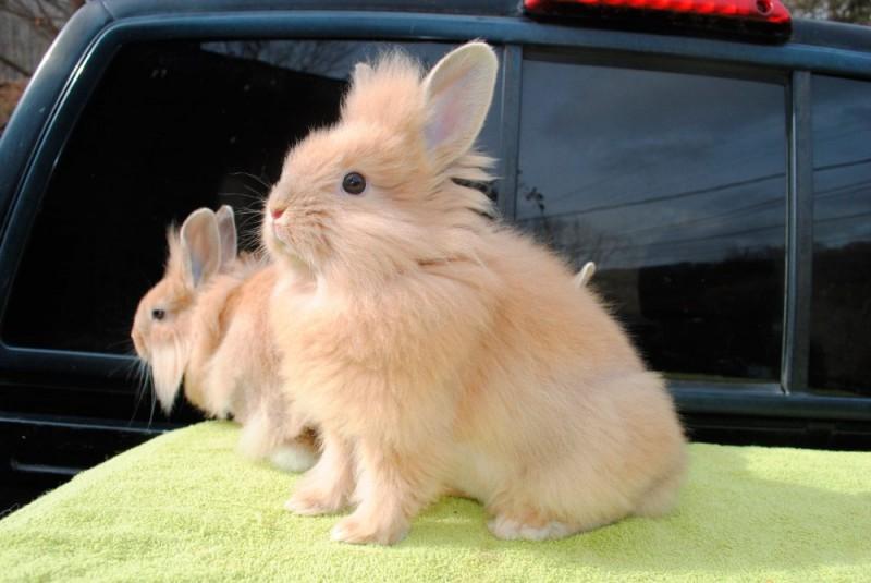 Diferenciación de las razas de conejos.Tipos de razas que existen