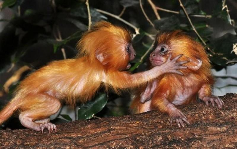 Crías de Monos tamarino león dorado