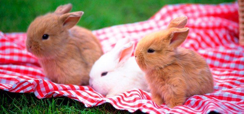 Características conejos enanos