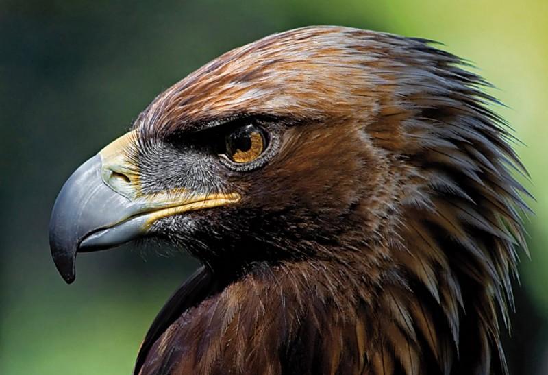 Características del águila imperial ibérica