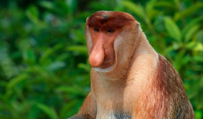 Características físicas de los monos narigudos