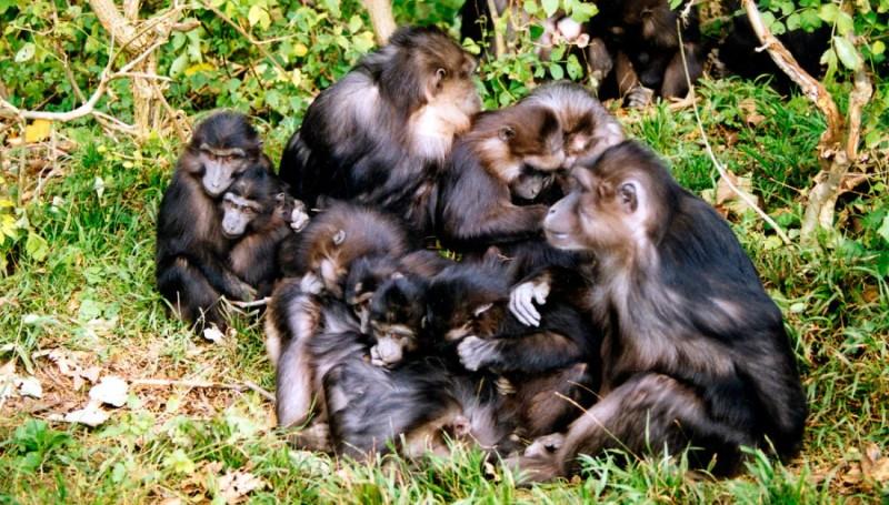Características físicas de los macacos de Togian