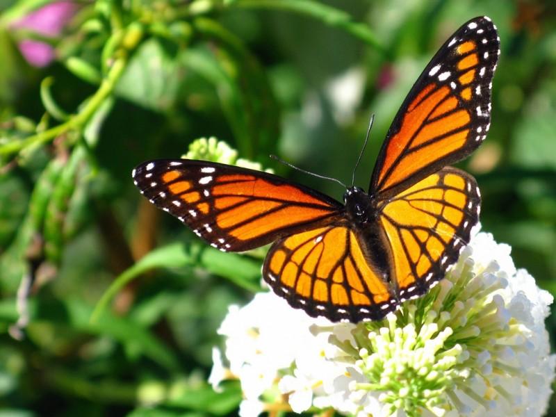 Características generales de las mariposas monarcas