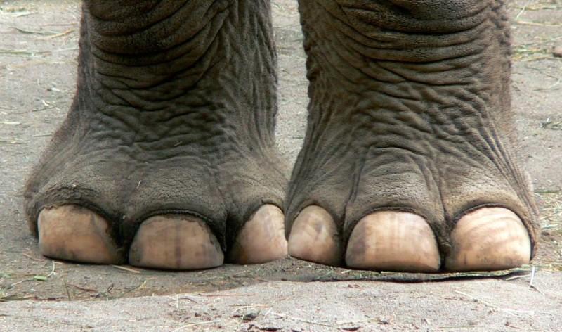 Características generales de las patas de los elefantes