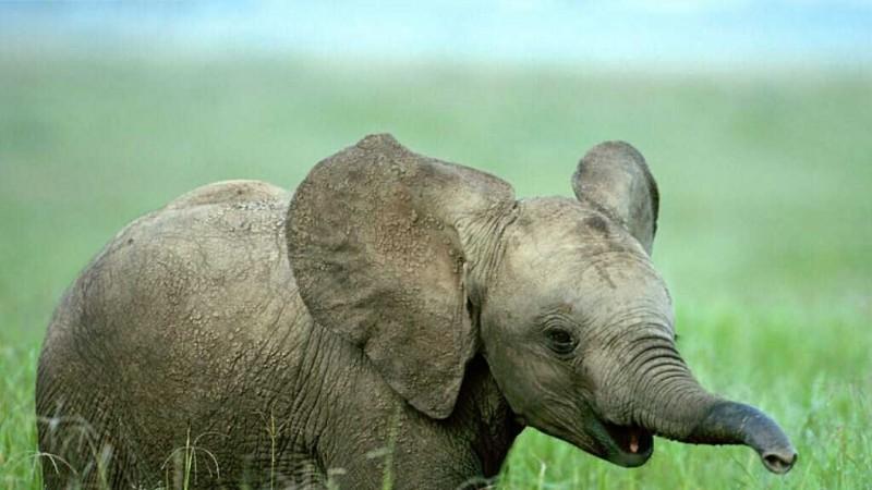 Características generales de los bebés elefantes