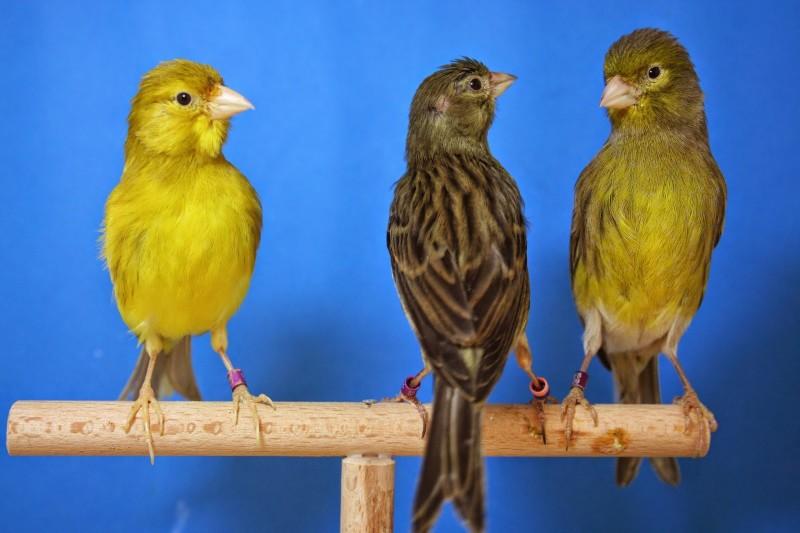Características generales de los canarios