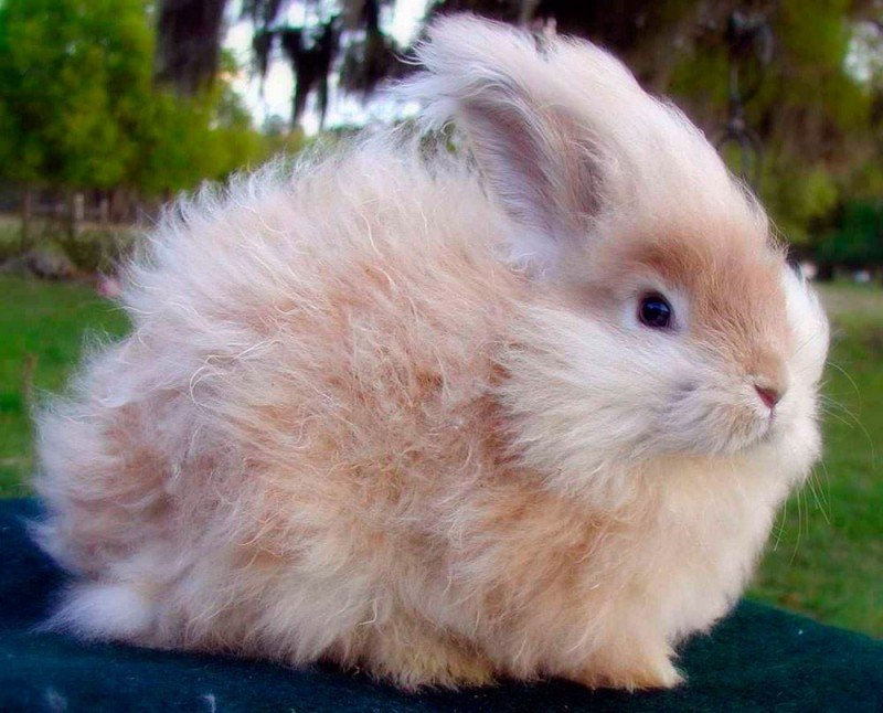 Características generales de los conejos angora