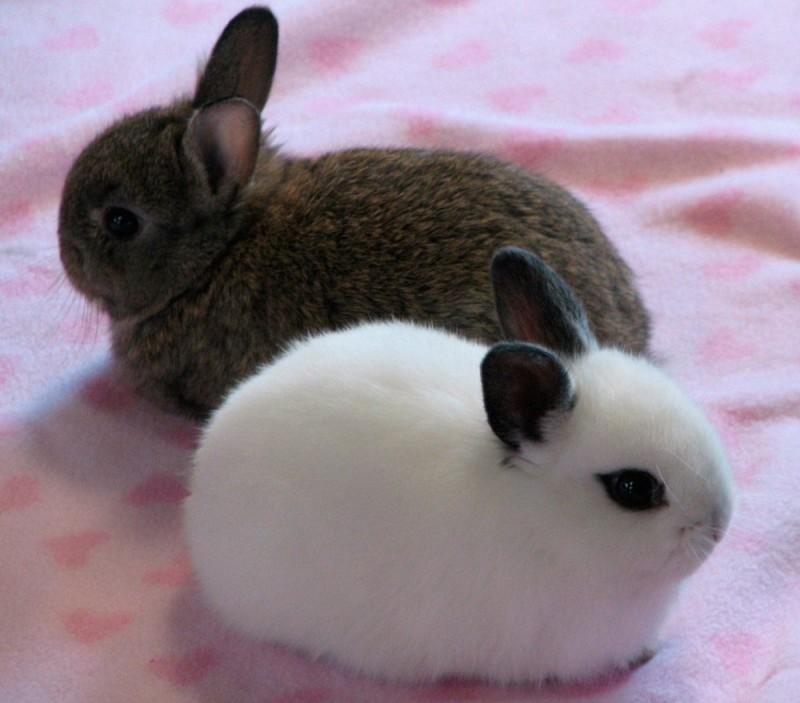 Características generales de los conejos Toy
