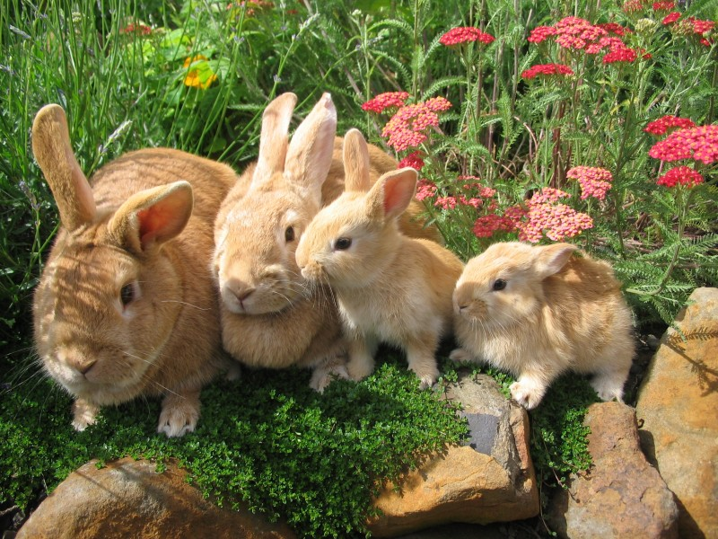Cuando los conejos maduran